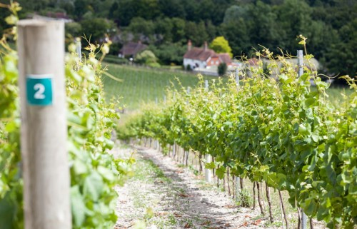 CP-vineyard-shot-down-hill