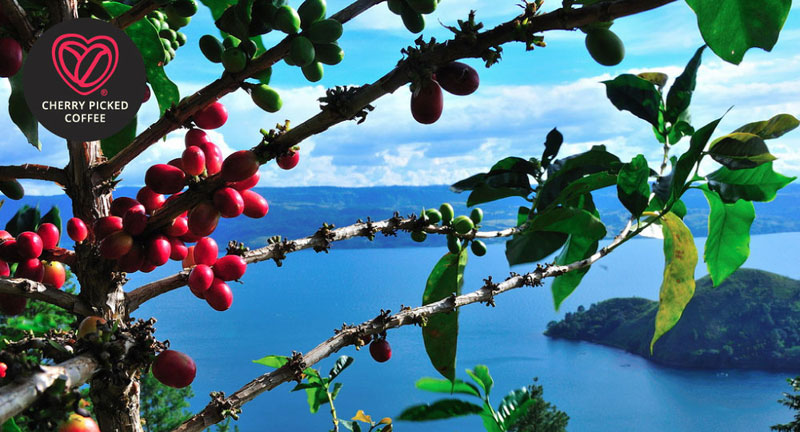 Cherry Picked Coffee - coffee cherries above Lake Toba in Sumatra