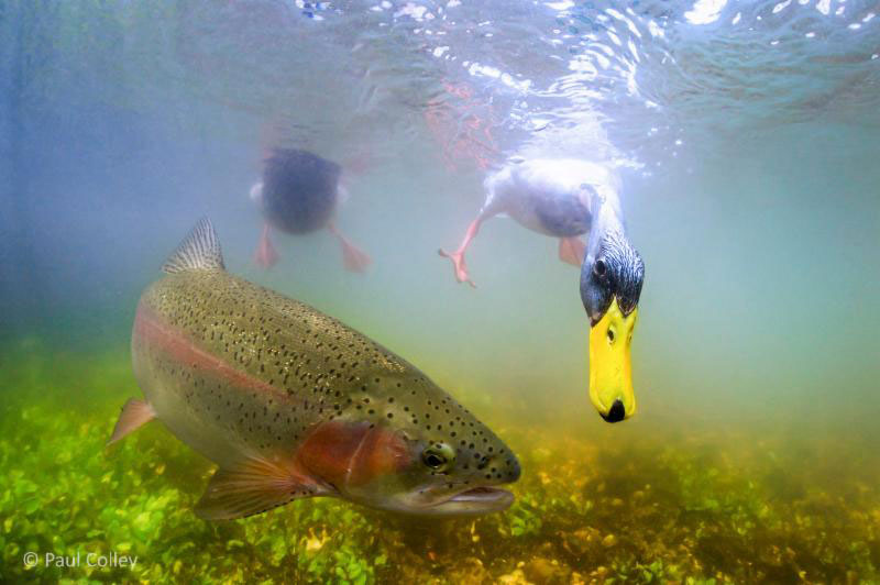 Duck-and-trout-competing-for-bread-at-Nether-Wallop-photograph-taken-by-Paul-Colley