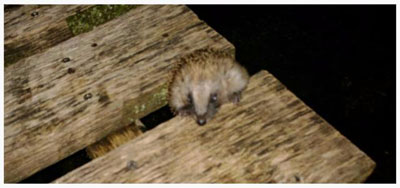 Fishing-Breaks-Hedgehog-Rescue-Erinaceus-Europaeus-1