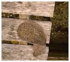 Fishing-Breaks-Hedgehog-Rescue-Erinaceus-Europaeus
