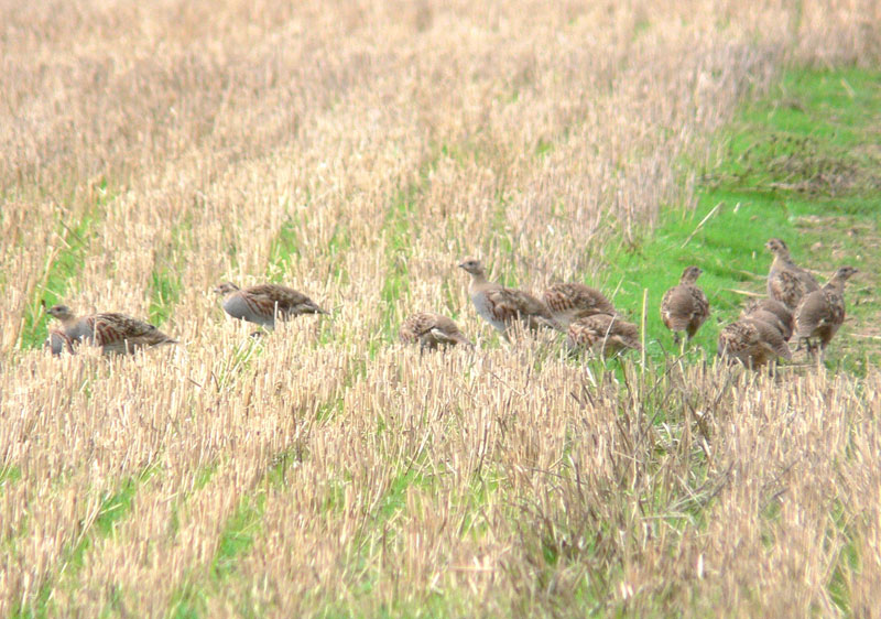 English Grey Partridge enjoying stubble