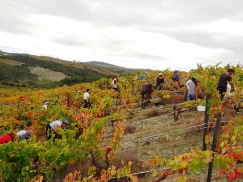 Harvesting in Quinta da Sequeira in mid October
