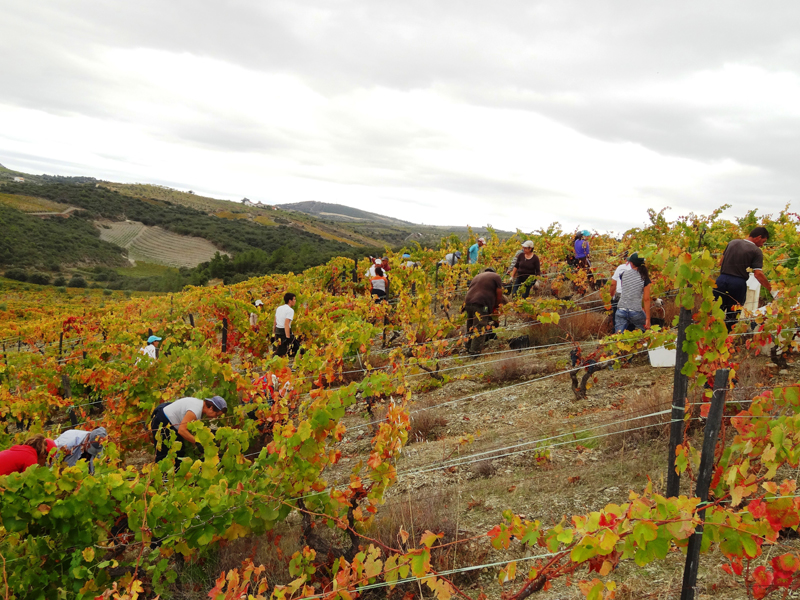 Harvesting in Quinta da Sequeira in mid October