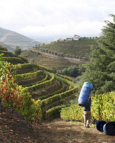 Harvesting in Quinta dos Avidagos