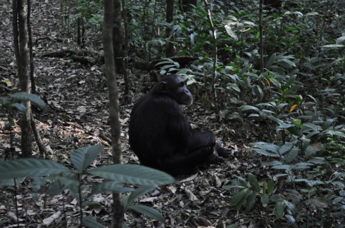 Male Chimpanzee Kibale Forest Uganda