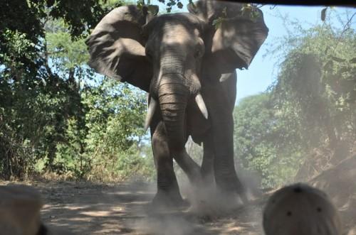 Charging Elephant in Zambia