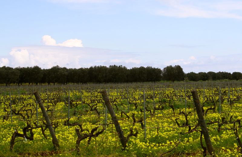 Organic Vineyard of Libera Terra in Puglia