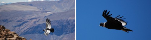 Patagonian Condors in flight