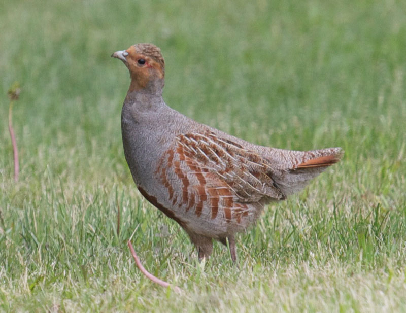 Perdix Perdix The English Grey Partridge