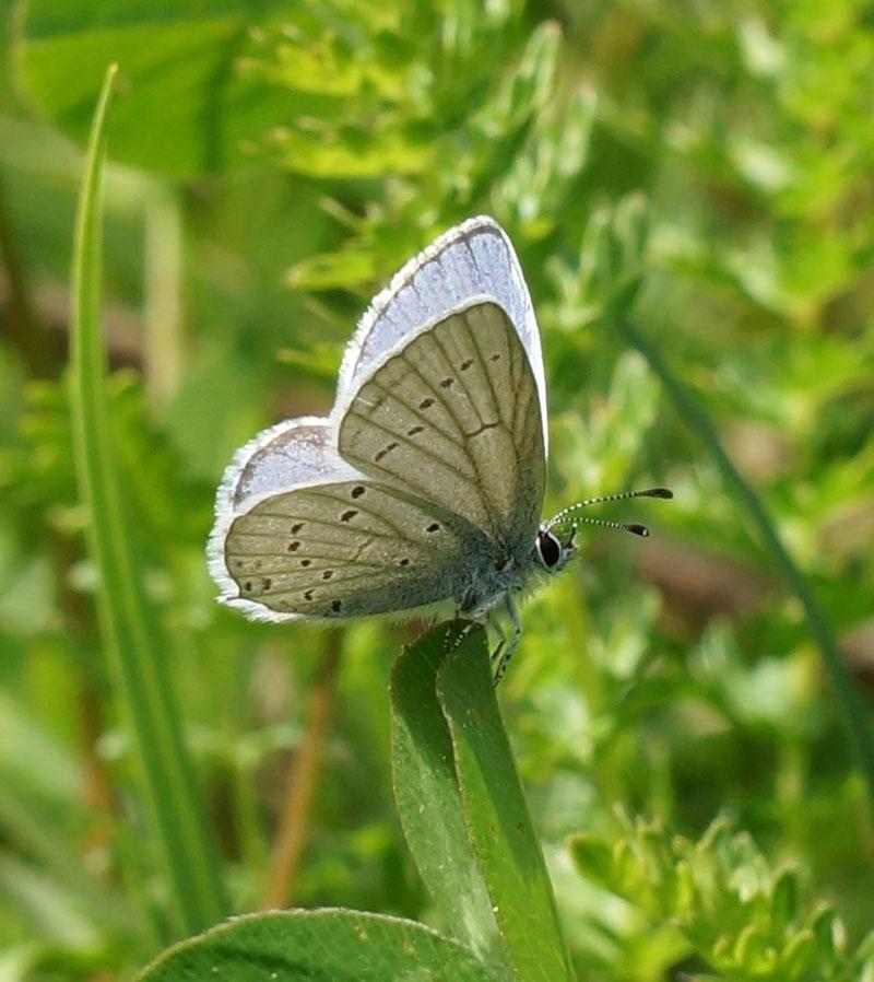 Provençal Short tailed Blue Everes alcetas
