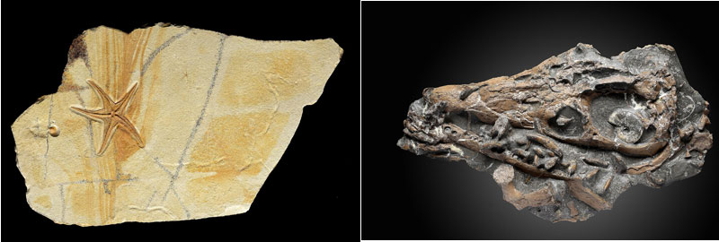 Starfish-Fossil-and-Rare-Liopleurodon-ferox-skull