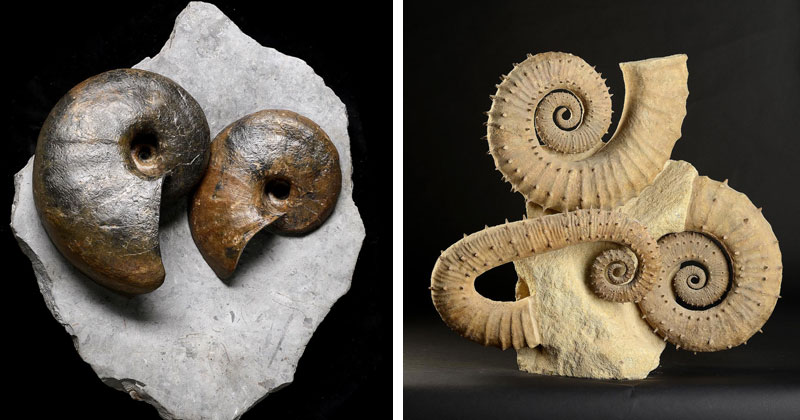 Two-Cenoceras-spp-nautiloids-and-large-spiny-ammonite-group