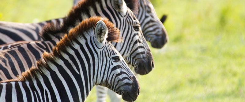 Ulusaba Zebras Safari