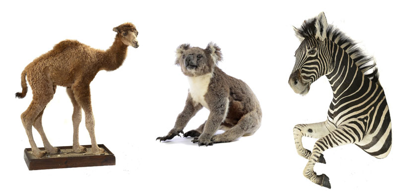 baby-Dromedary-Koala-Bear-and-Head-and-forelegs-Zebra