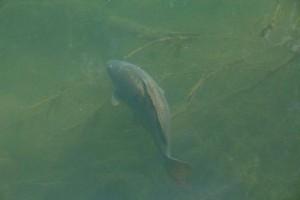 Big Fish Swimming in River