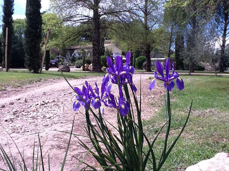 Irises in Parkland