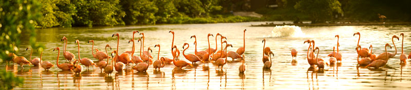 Necker Island flamingos