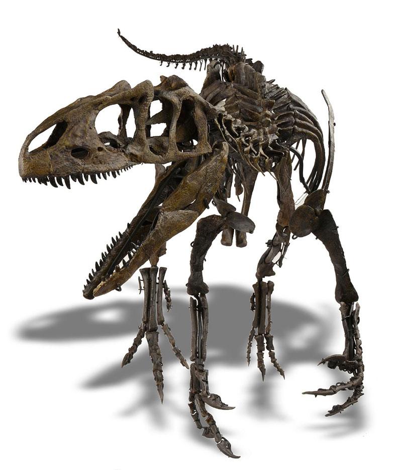 rare-juvenile-Allosaurus